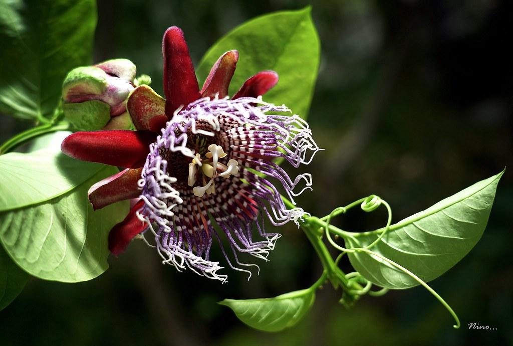 Estrella roja - Pasionaria - Flor de la Pasión