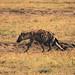 Spotted Hyena, Piaya Serengeti, Tanzania