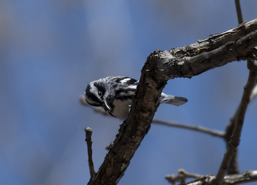 blackandwhitewarbler scheiernaturalarea fluvanna fluvannacounty warbler tree branch twig blue sky spring virginia centralvirginia outdoor outdoors outside animal creature nature