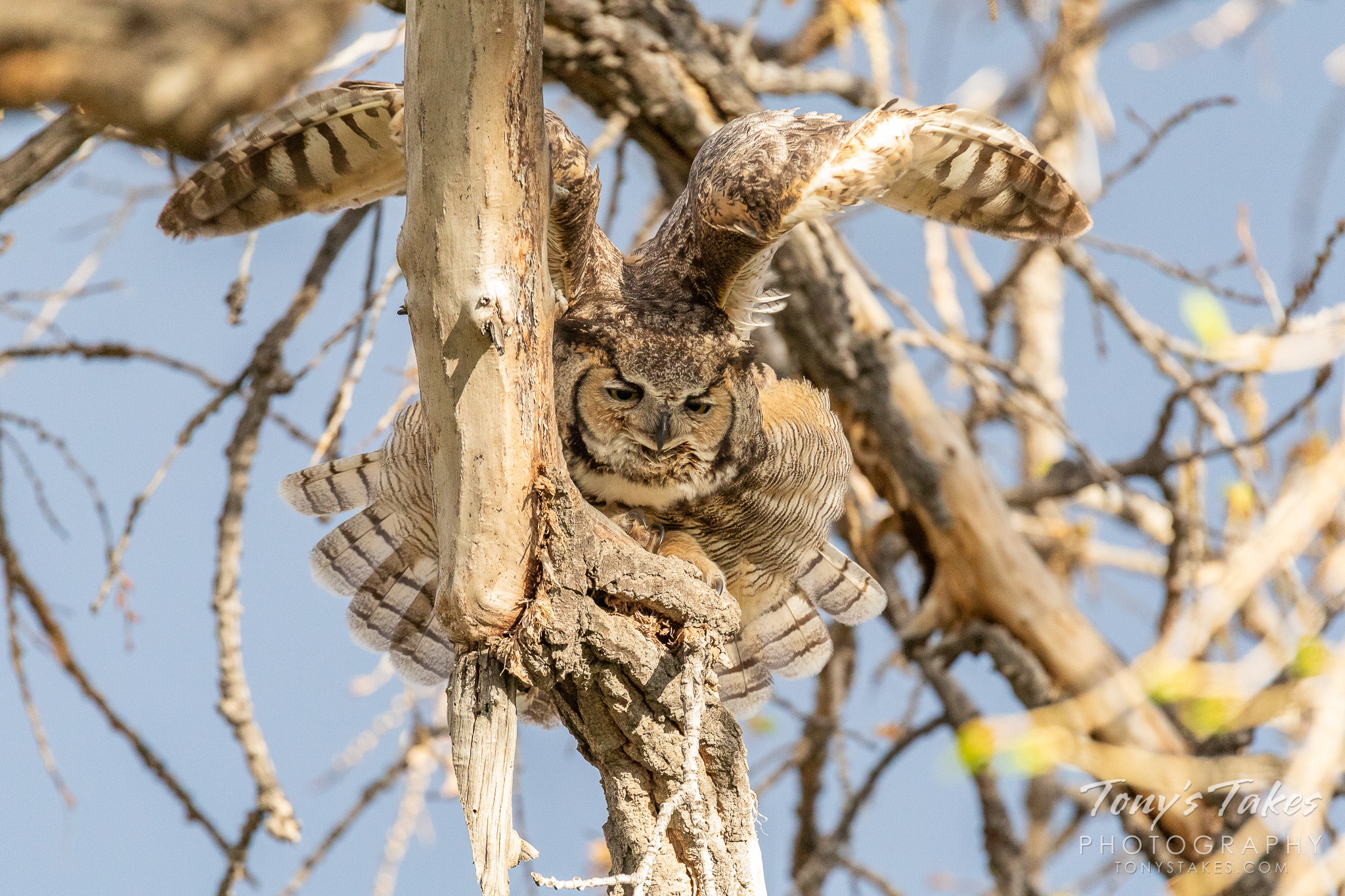A female great horned owl stretches her wings over head in Thornton, Colorado. (© Tony's Takes)
