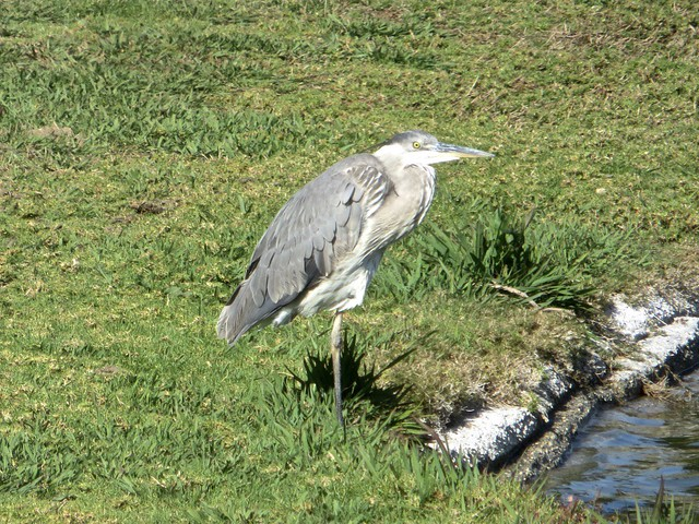 heron at pepperdine pond