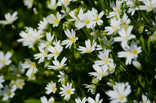 Greater stitchwort flowers, Castlecroft