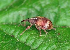 Anthonomus pedicularius
