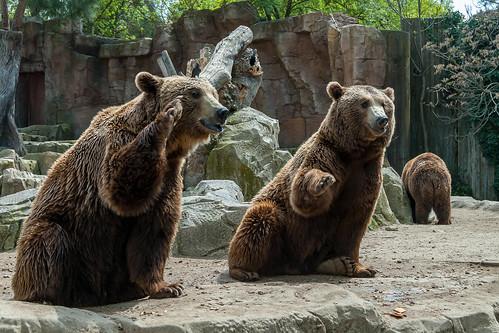 Brown bears - Zoo Madrid