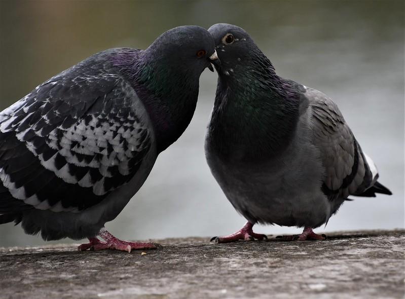 Pigeons 30.04 (1)