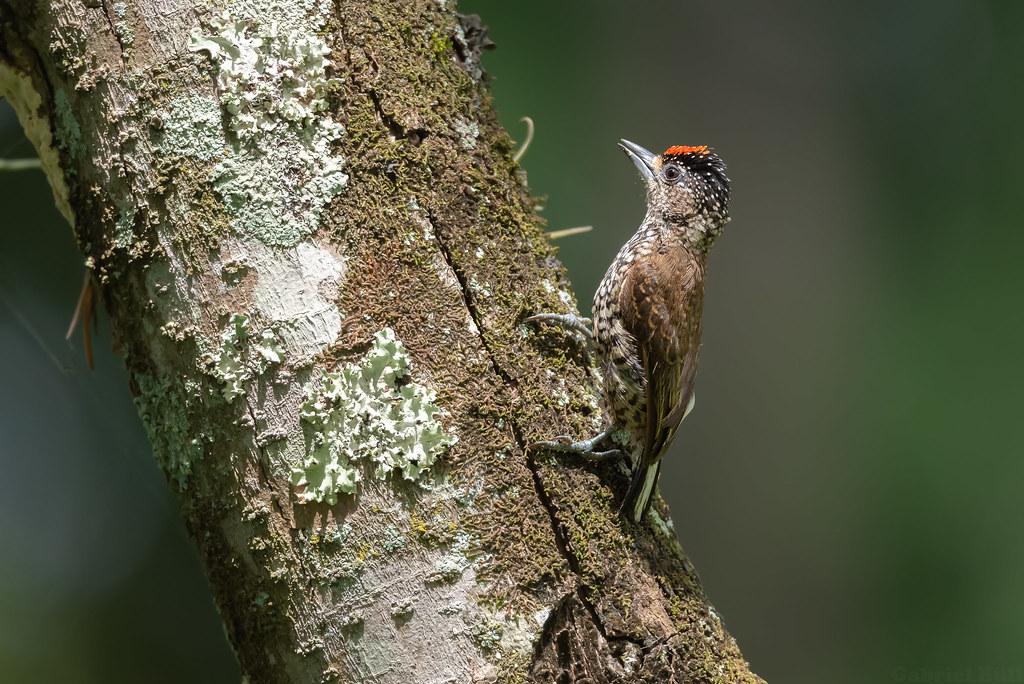 White-barred Piculet - pica-pau-anão-barrado (Picumnus cirratus)
