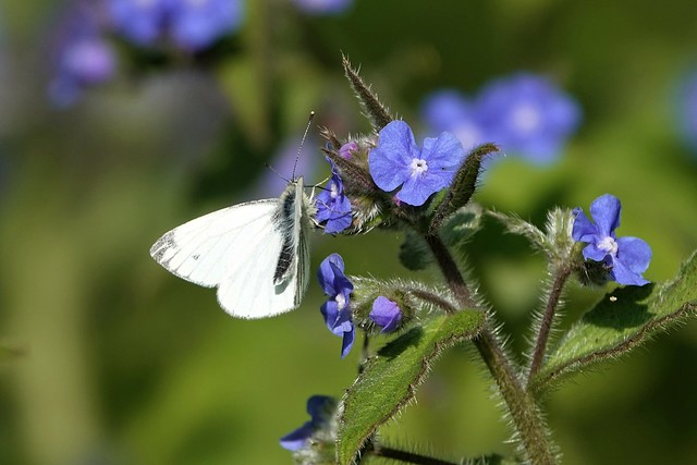 Cabbage White Butterfly. April 2019