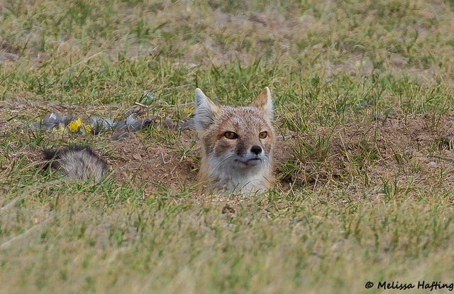 Swift Fox (Vulpes velox) - Fort Collins, CO