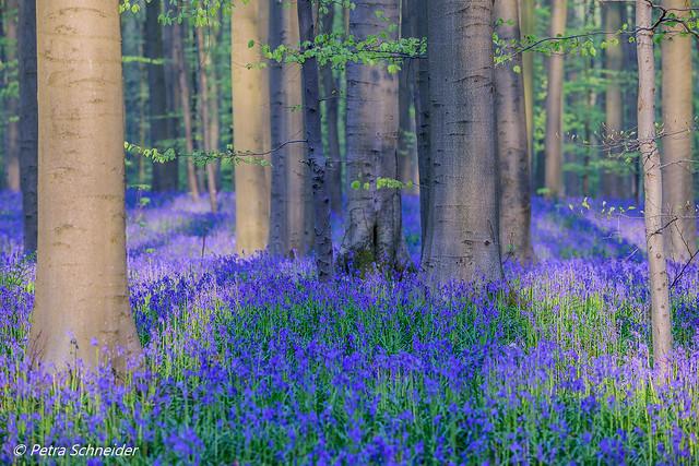Bluebell forest Hallerbos Belgium