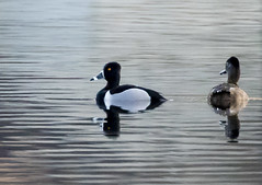 Ring necked duck (male & female)