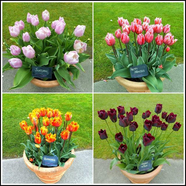 Tulip Festival...