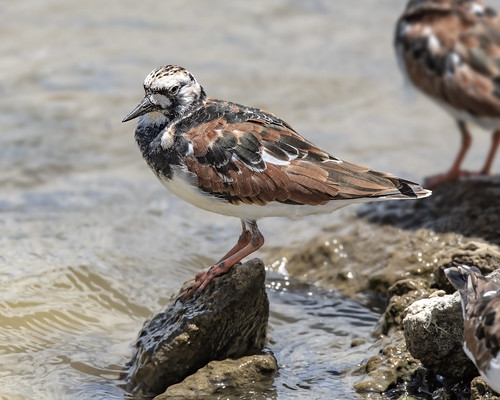 Ruddy Turnstone 01 | by wplynn