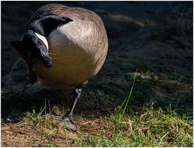 Goose scratcher!