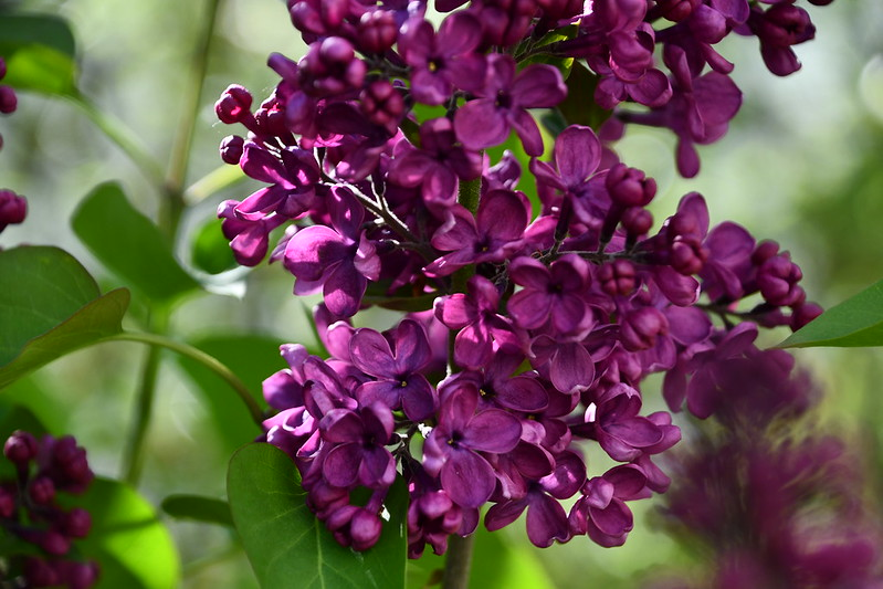 Lilac 01.05 (1)