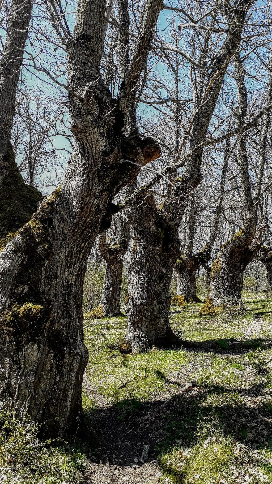Palacios de la Sierra (Burgos). Robledal (Quercus petraea).