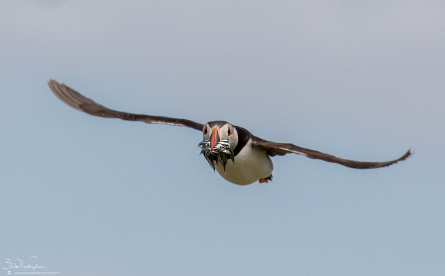 Puffin And Catch