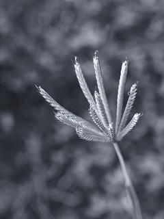 R0012352 Grass flower | by rjbrett2