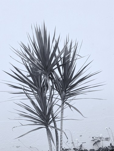 R0012313 Cordyline | by rjbrett2