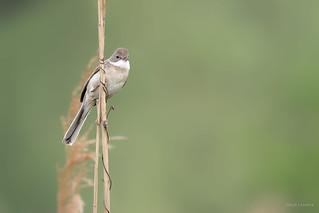 Rousserolle effarvatte / Eurasian Reed Warbler. | by Serge Lemaire