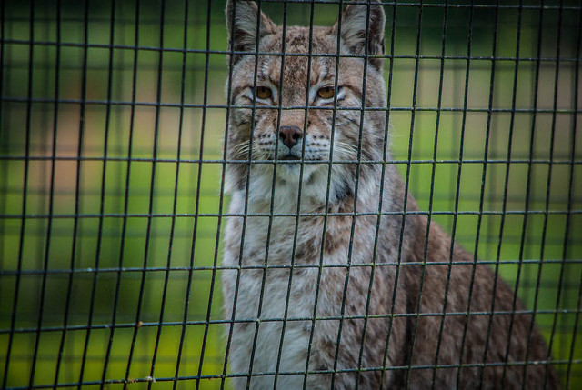Alert Bobcat