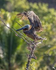 Brown Pelican - landing