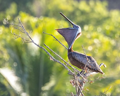 Brown Pelican - stretching