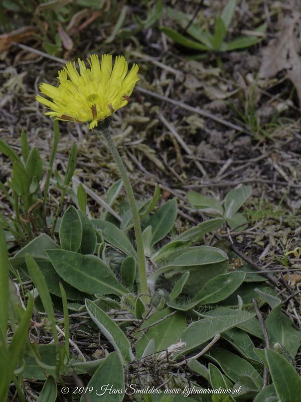 Muizenoor (Hieracium pilosella)-619_1726