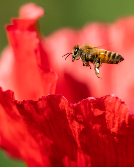 Bee in Red