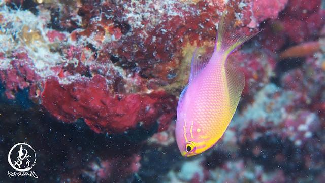 ハナゴンベ幼魚ちゃんも増えてました♪