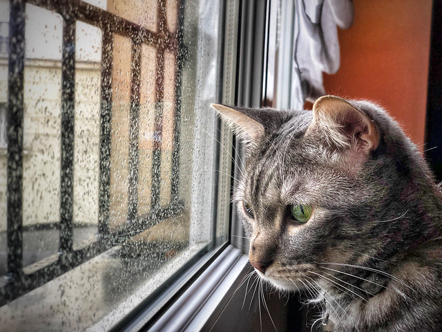 Chat devant la pluie.