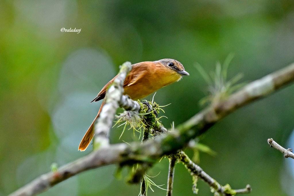 Caneleiro - Chestnut-crowned Becard - Pachyramphus castaneus