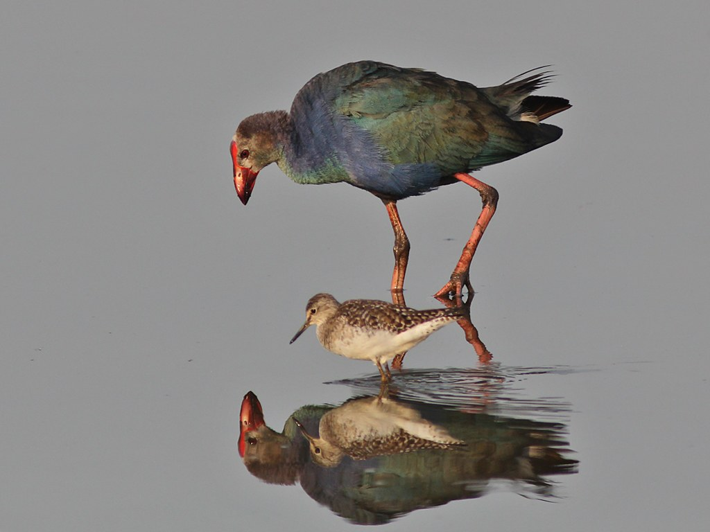 Grey-Headed Swamphen & Marsh Sandpiper