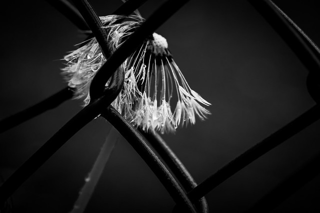 Dandelion - Wet Between The Fences