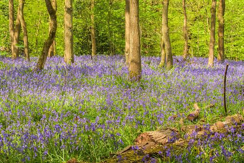 bluebells wildflowers springflowers saltwellswoods dudley netherton westmidlands blackcountry spring 2019 uk england woodlands naturereserve colour trees beauty nikon d750 tamron70200mmf28vcg2 landscape outdoor
