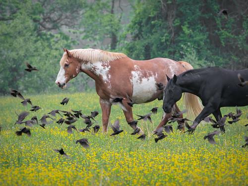In a Flock of Blackbirds