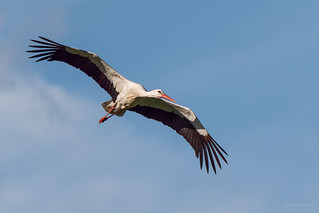 Cigogne blanche - White Stork | by Serge Lemaire
