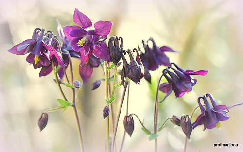 1-2019-05-0211  my purple aquilegia , artwork