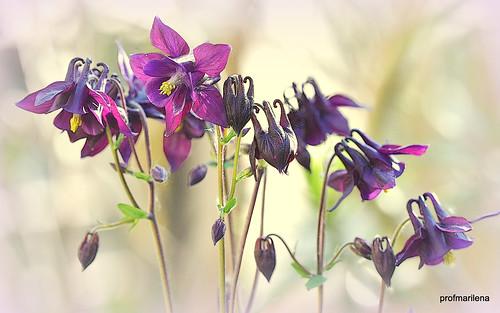 1-2019-05-0211  my purple aquilegia , artwork
