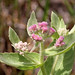 Rosy Camphorweed - Photo (c) Mary Keim, some rights reserved (CC BY-NC-SA)