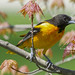 Baltimore Oriole by Natures Joy Photography