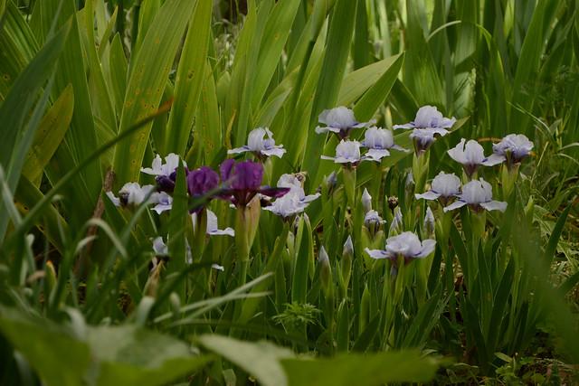 Iris 'Sapphire Jewels' - Melba Hamblen 1977 - Page 2 46862030855_45fd975f18_z