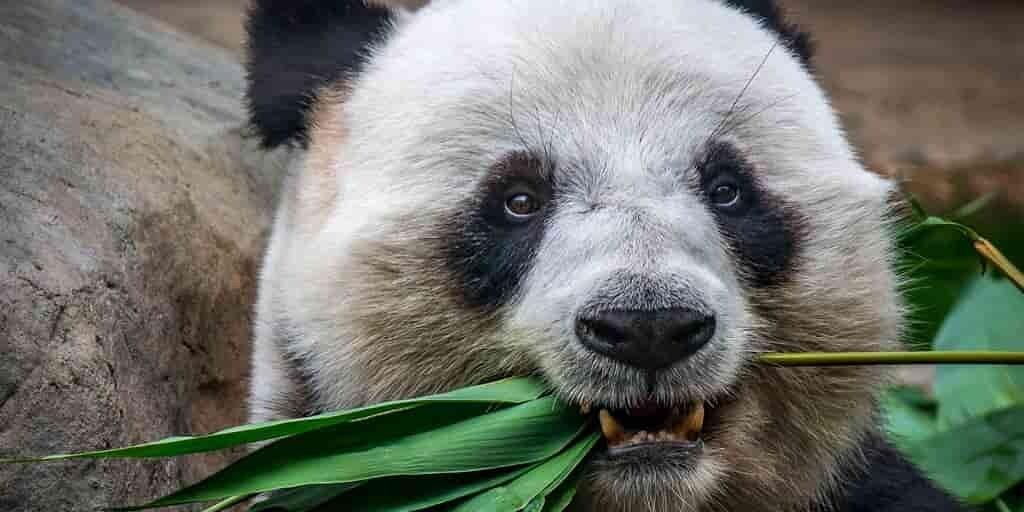 pandas-géants-source-protéines