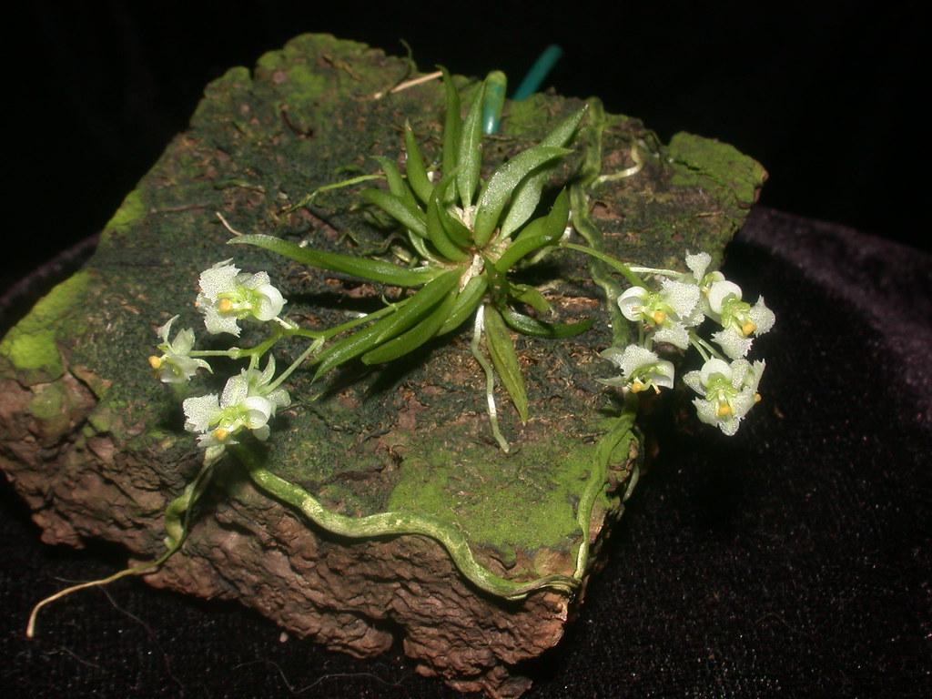 Miniatur-Orchideen Teil 5 - Seite 3 46864080945_4b3d3cf4a6_b
