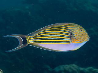 Striped surgeonfish (Acanthurus lineatus)