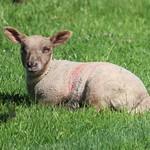 Lamb at Tatton Park