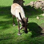 Reindeer at Tatton Park