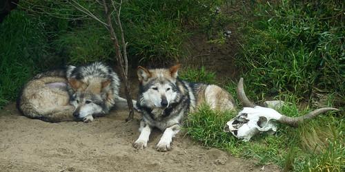 Wolves SR600733
