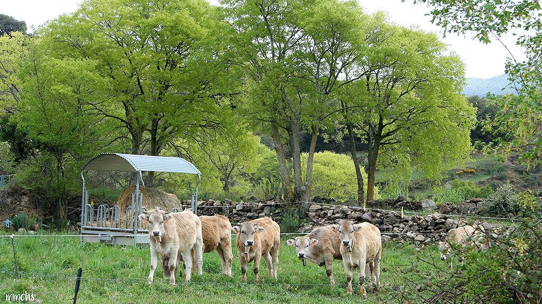 vacas en el Pirineo Catalán