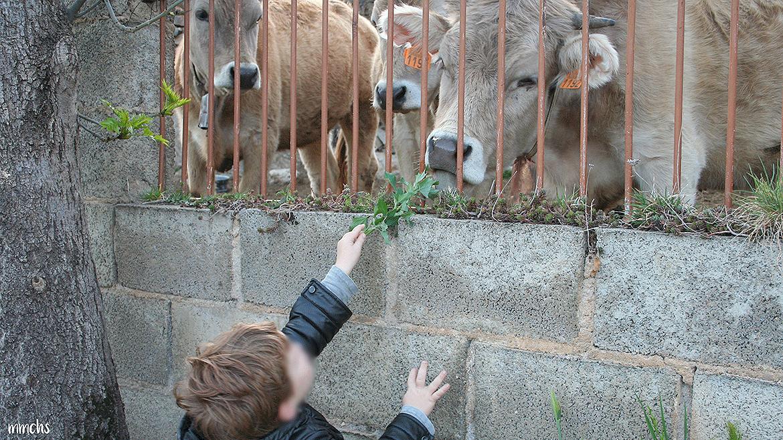niño dando de comer a las vacas