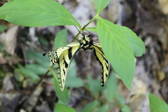 Eastern Tiger Swallowtail on April 22, 2019